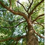 木のおはなし『クスノキ』